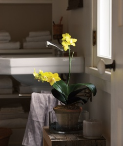 yellow-orchid_300